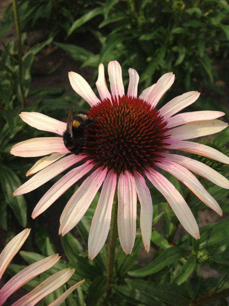 Echinacea U0027Blushing Meadow Mamau0027 PPAF U2013 Plants Nouveau