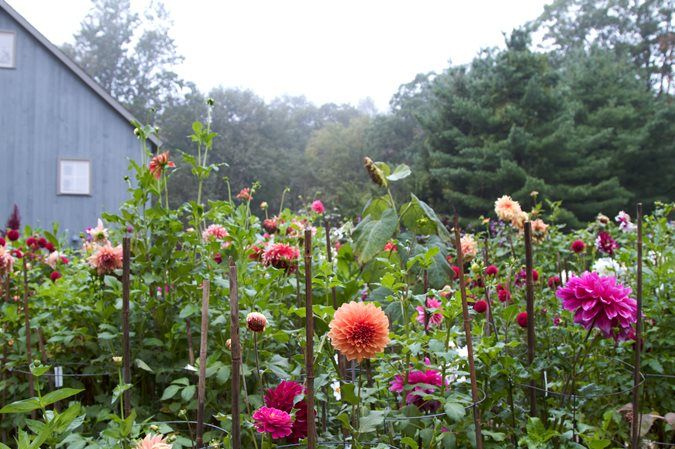 Growing Dahlias Planting Caring For Dahlia Flowers With Images Flower Garden Design Growing Dahlias Framed Plants