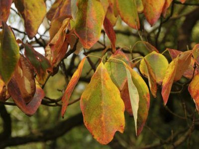 Sassafras Oil Benefits Uses & Side Effects #news #alternativenews