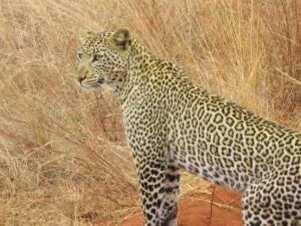 Leopard... vazut din masina de SAFARI