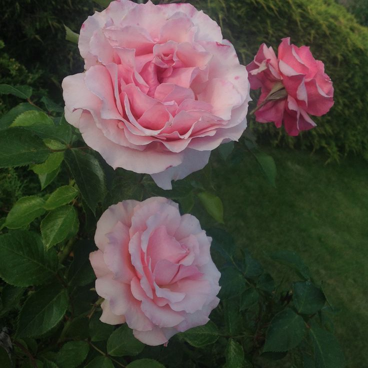 Karen Lee Edwards Studio®; Karen Lee Edwards; Roses 002©; 2015
