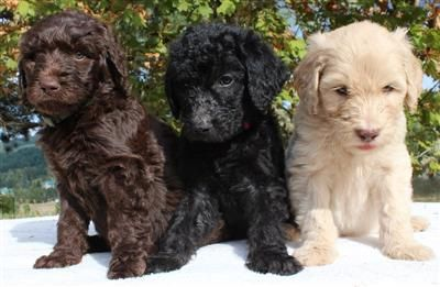 Chocolate Blonde and Black Labradoodles