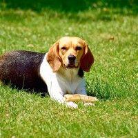 #dogalize Alimentazione del cane beagle, da cucciolo fino ad adulto #dogs #cats #pets