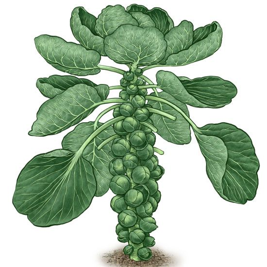 All About Growing Brussels Sprouts - Organic Gardening - MOTHER EARTH NEWS