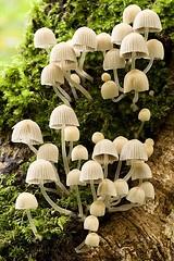 mycena fungi: Champignon, Magic Mushrooms, Mycena Mushrooms, Mycena Fungi, Parachutes Mushrooms, Mushrooms Village, Mushrooms Fungi Lichen, Mushrooms Fungus, Photo