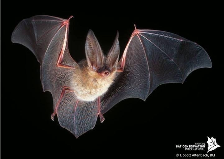 Townsend's big-eared bat   BATS   Bat species, Bat photos ...