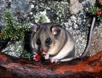 Save the critically endangered Mountain Pygmy Possum - The Petition Site