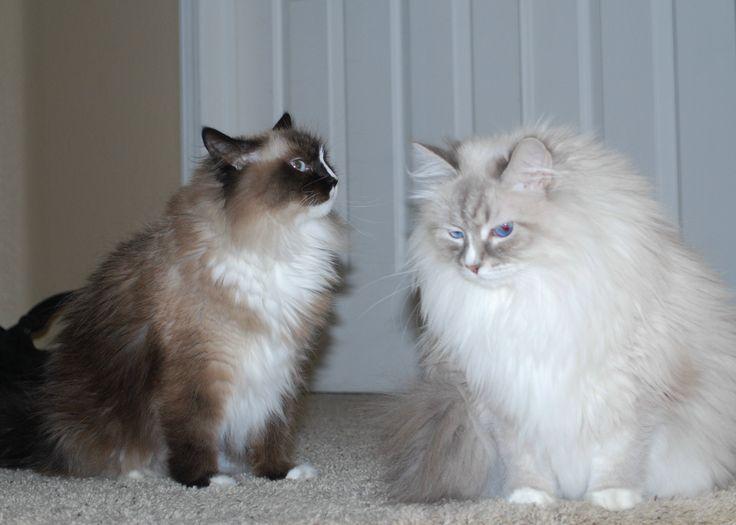 Russian girls, Siberian cats