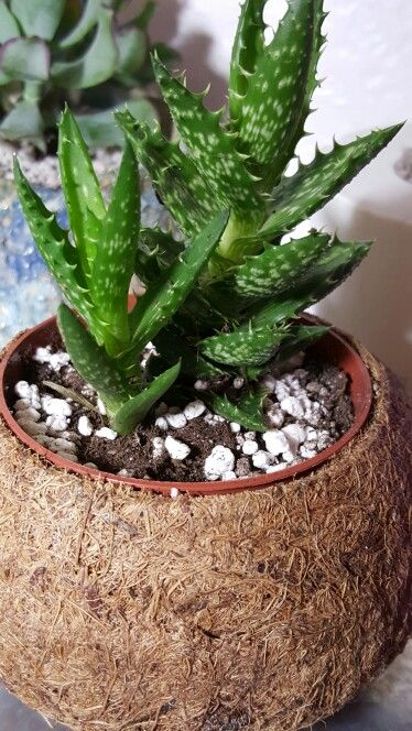 Succulent in cocos pot