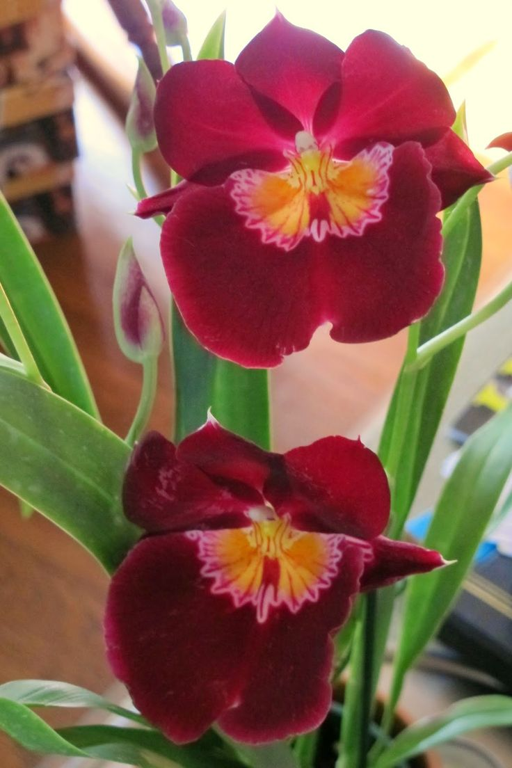 An Alameda Garden: Miltonia Orchids: You Can Grow That!