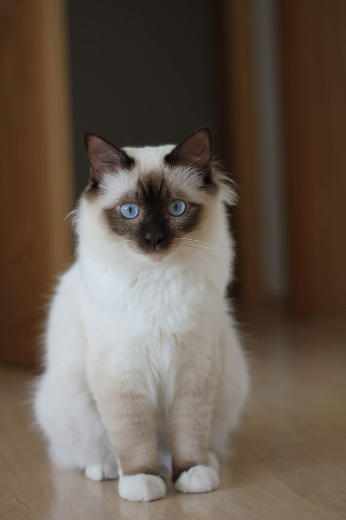 Chocolate point Birman cat