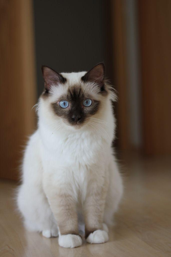 Chocolate point Birman cat