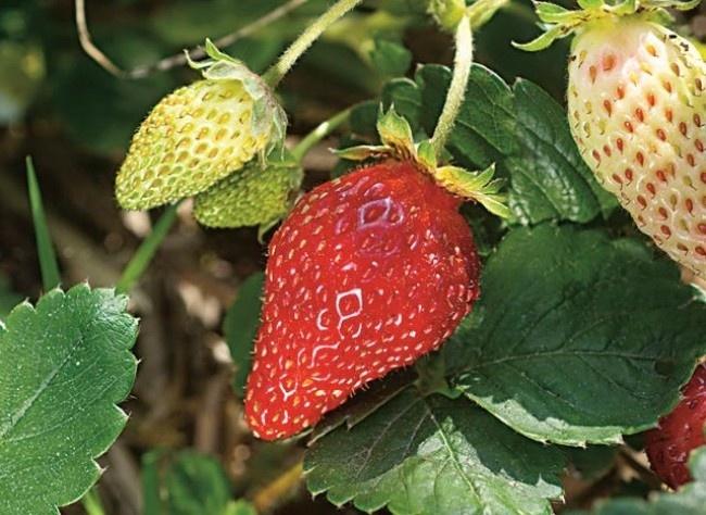 Les 25 meilleures id es concernant cultiver des fraises sur pinterest jqrdin de fraises - Cultiver aubergine en pot ...