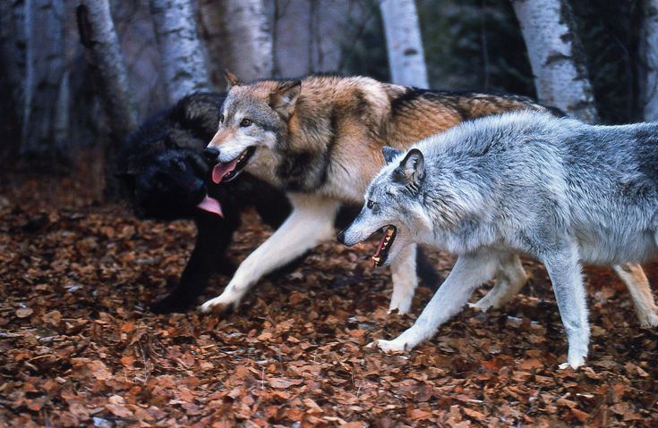 The Three Wolves! Eira's wolves.   Black-Shadow  Brown- Mouser Silver- Frost All Male