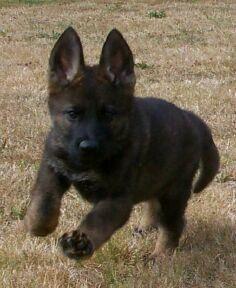 Schutzhund Trained, Washington and Black Sable German Shepherds | Vom Banach K9 #germanshepherd