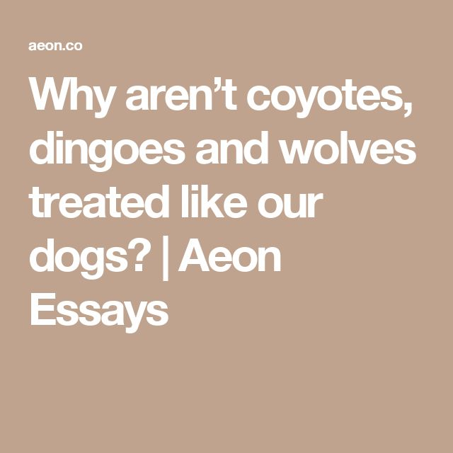 Why aren't coyotes, dingoes and wolves treated like our dogs? | Aeon Essays