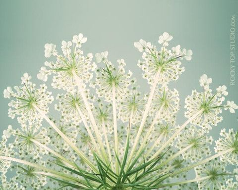 Queen Anne's Lace by Allison Trentelman | rockytopstudio.com