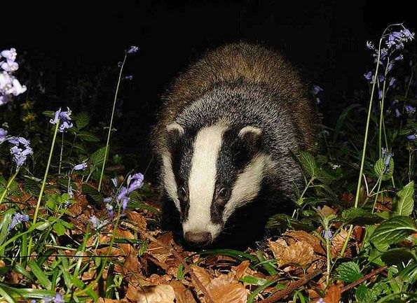 Badger and bluebells - they take them into their setts