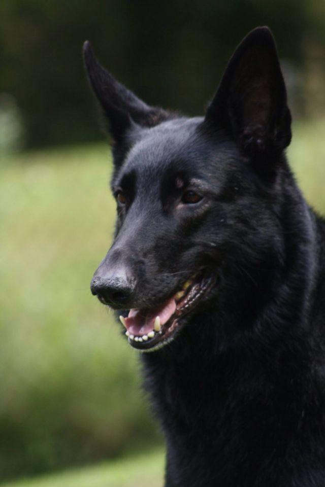 Diversity In Black German Shepherd Colors Black German Shepherd Black German Shepherd Dog