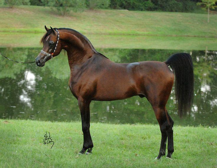 Marwan Al Shaqab, Arabian Stallion.