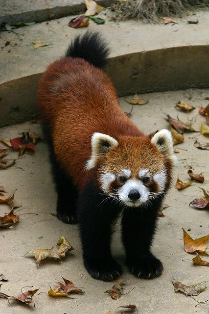 Red Panda, by Ying Chen.