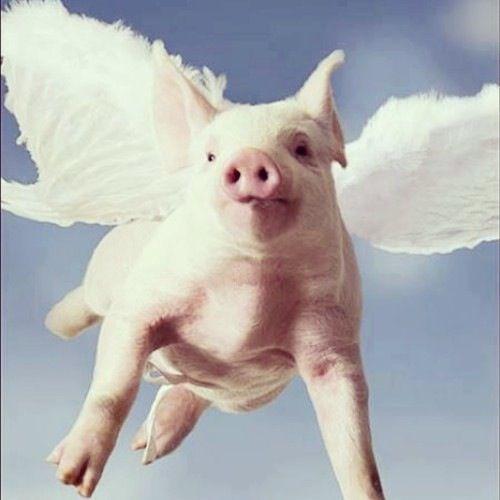 Essay on Flying Pig Lab - 184 Words - studymodecom
