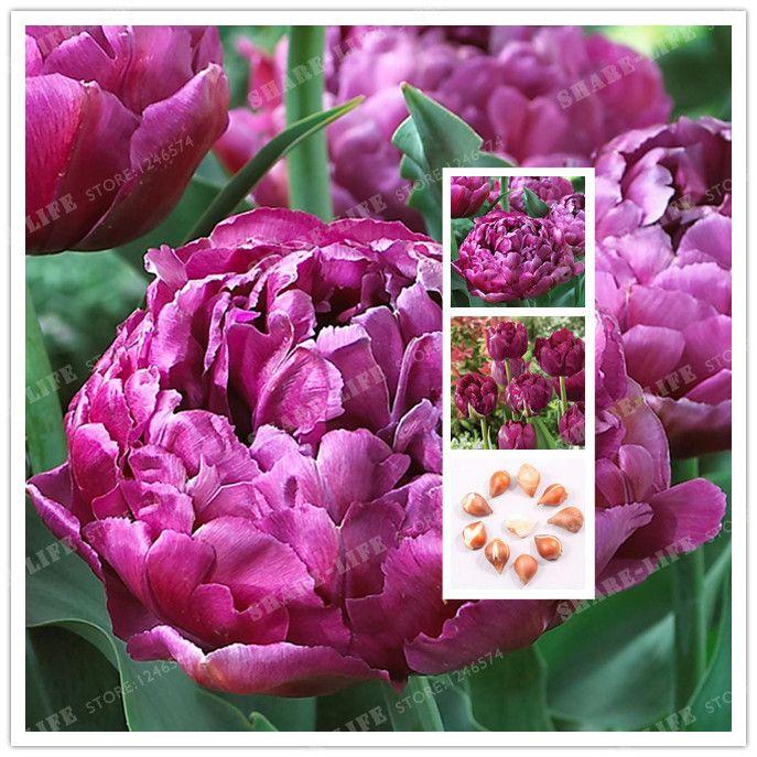 True Purple Tulip Bulbs,Tulip Flower,(Not Tulip Seeds),Flower Bulbs Symbolizes Love,Tulipanes Flower for Garden Plants -2 Bulbs