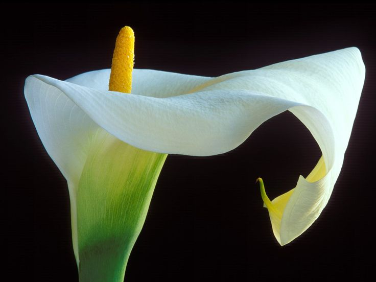 interesting and beautiful pictures of calla lily flower