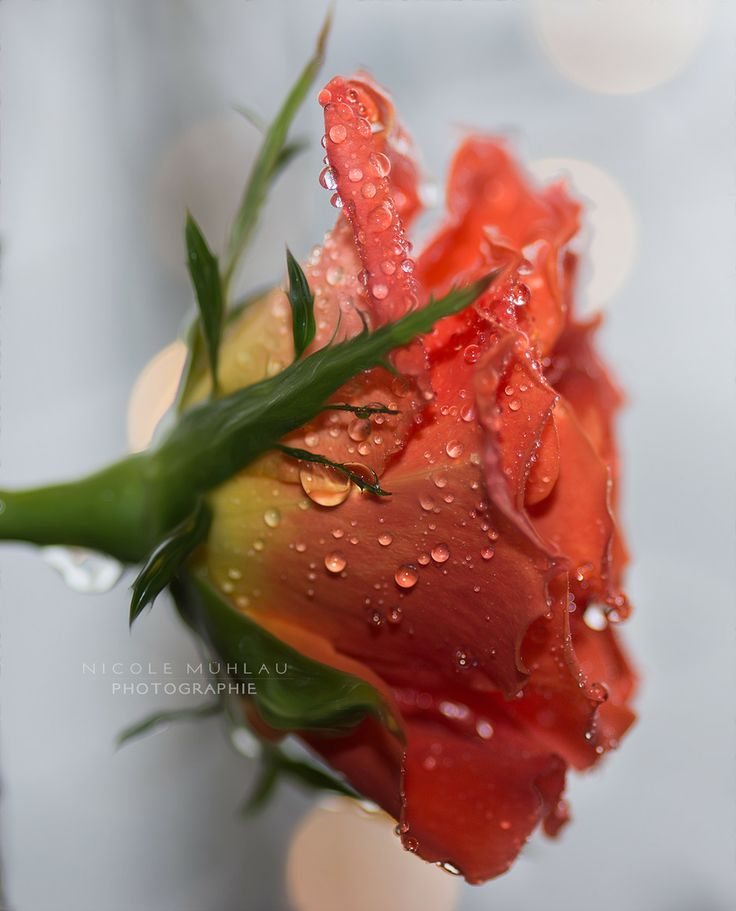 Drops on Rose