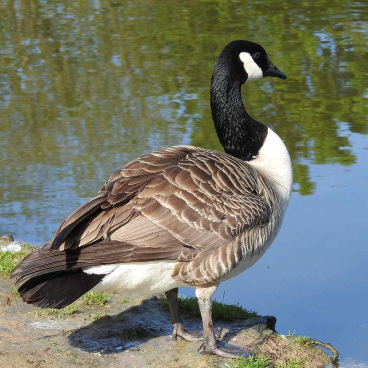 Oiseaux - Bernache du Canada - Branta canadensis - Sur une berge de la Base de loisirs du Port aux Cerises de Draveil