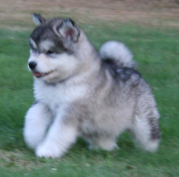 Husky Like Dog Beginning With M