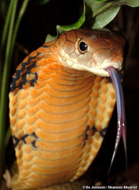 Pin by Tatiana Buzikova on snakes | Pinterest