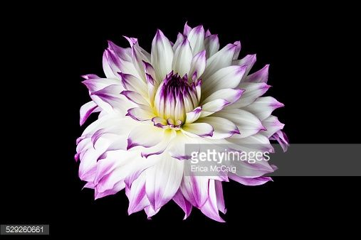 white-and-purple-chrysanthemum-flower-picture-id529260661 (507×338)