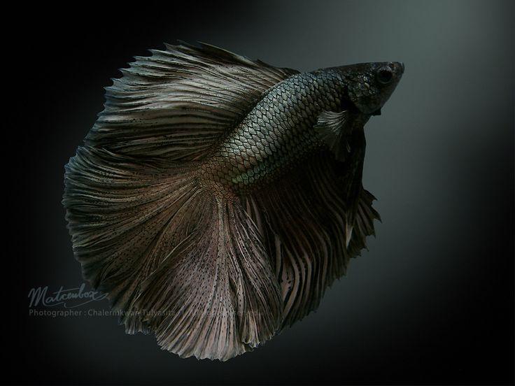 Black Fighting Fish. Beta. /|-| | Beautiful bettas ...