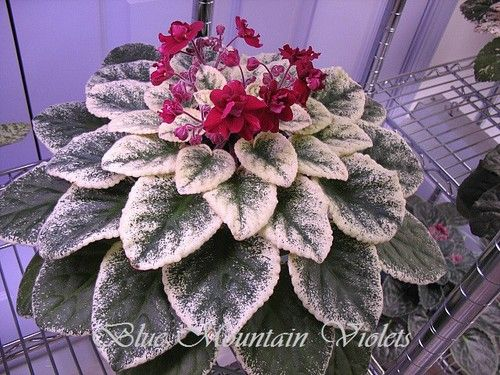 African Violet Powwow | eBay Powwow (7708) K. Stork:  Semidouble red pansy.  Variegated green and cream, plain.  Standard.
