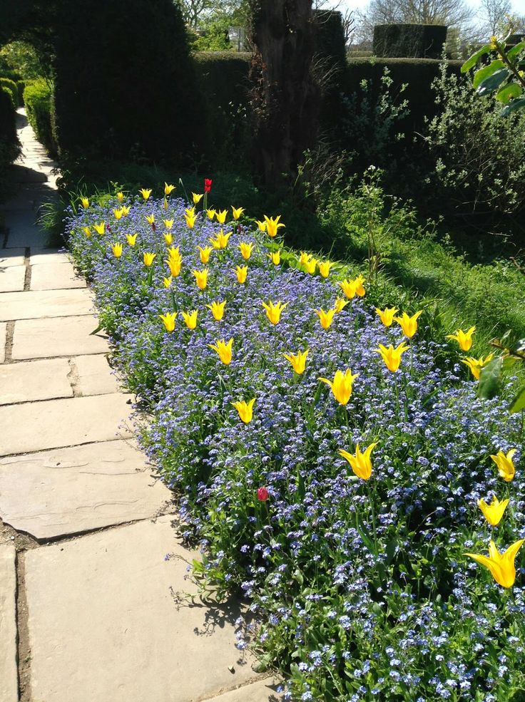 Blue Myosotis and yellow lily-flowered tulips (possibly Tulipa 'West Point' at Great Dixter Gardens - Photo by Noemi Mercurelli