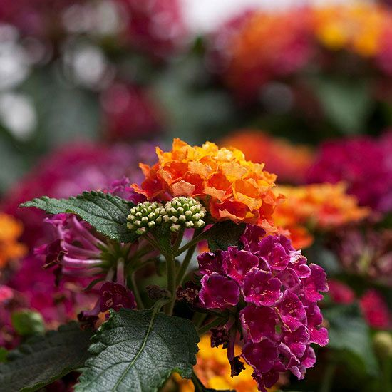 Little Lucky Lantana. This summer, don't let heat and drought wipe out your garden. Instead, grow the Little Lucky lantanas. This new family of compact lantana blooms like crazy, even when the weather is hot and dry.  These compact lantana are available in a variety of colors: 'Lemon Cream,' 'Hot Pink,' 'Peach,' and 'Pot of Gold.'