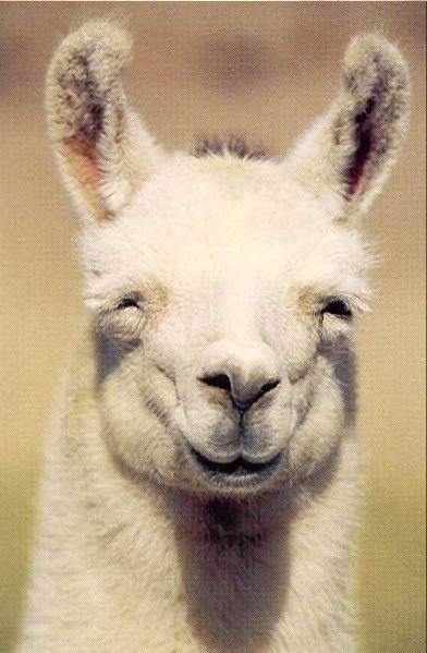 Smiling Llama!