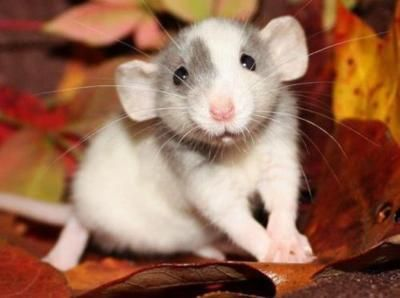 Baby dumbo rat! Call me crazy but I would get one for Charlotte