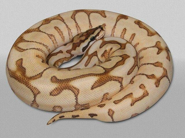Bien-aimé 66 best Python Regius morpen images on Pinterest | Python regius  HJ05
