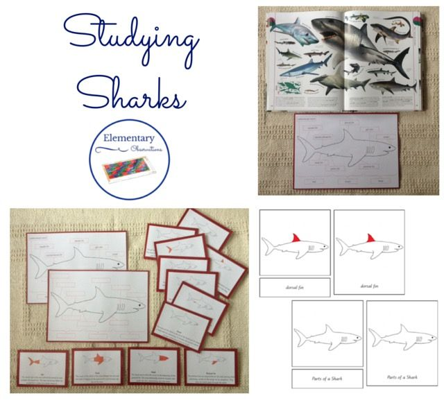 Studying Sharks {with some free printables}