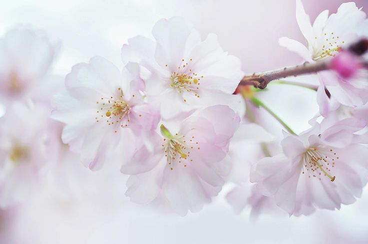 Silky Petals. Spring Pastels Photograph by Jenny Rainbow