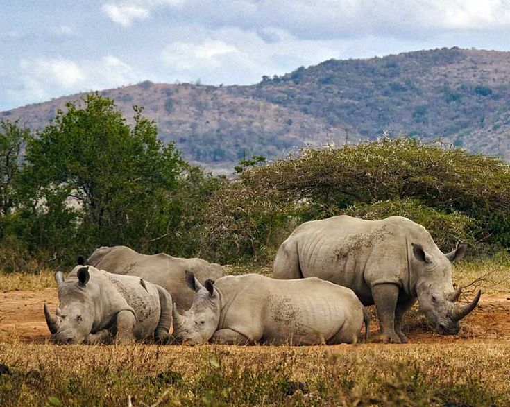 African-white-rhino-huddle-Wildmoz.com