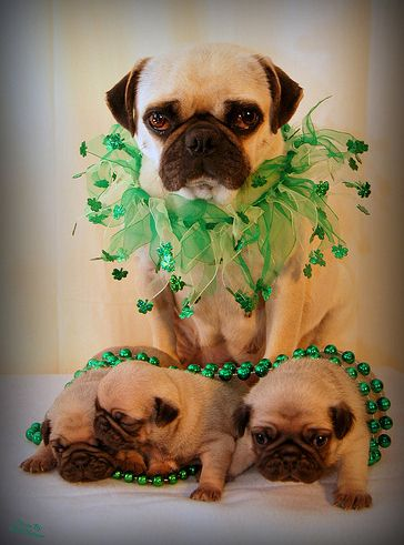 Take a picture of your fury friend and share it on our page!!  St. Patty's Day is a family affair #dogpatty
