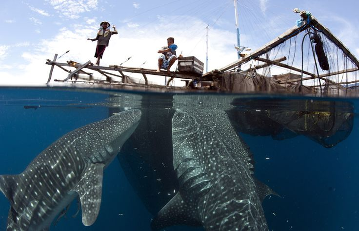 Indonesia whale Shark | See More Pictures | #SeeMorePictures