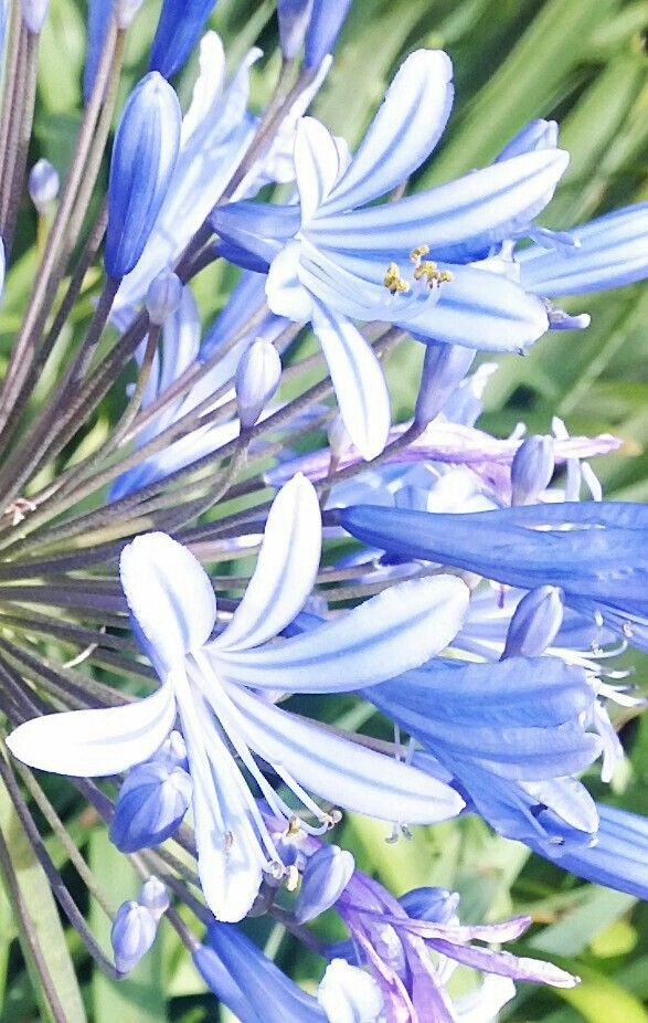 AGAPANTHUS flowering.