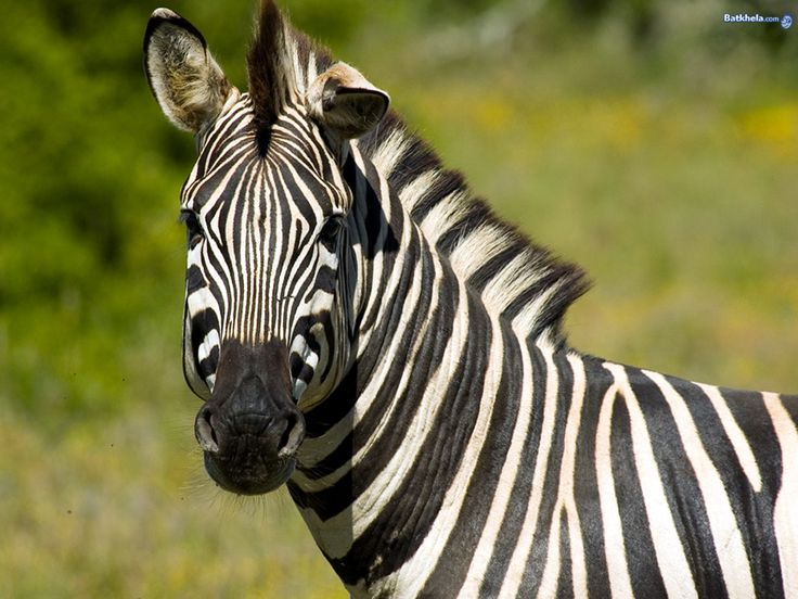 An introduction and background of the plains zebra