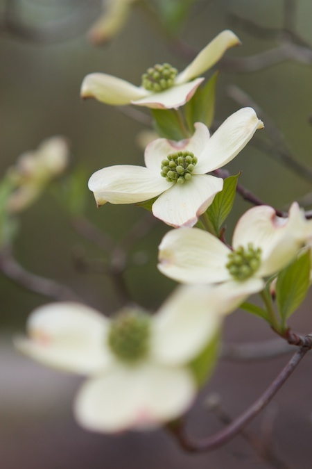 Dogwoods have so much simple beauty!  For Mimi, who loved dogwood.