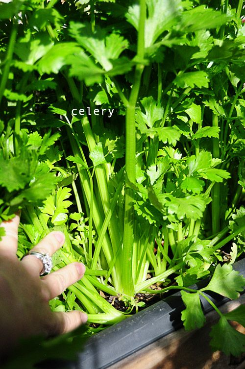 DIY - garden. celery growing in my garden today! find out about a new way to garden and grow your own food! blog with lots of pics. ~Mel @ RaisedUrbanGardens.com