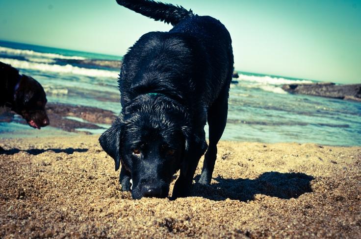 Mi negra India! Labrador Retriever - Lab - Perra